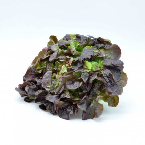 Salade feuille de chêne France